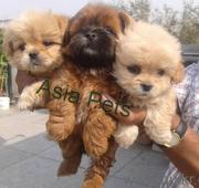 Lhasa Apso  Puppies  For Sale  ® 9911293906