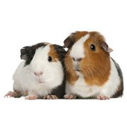 Buy Healthy Guinea Pigs for Sale in Delhi at Affordable Price